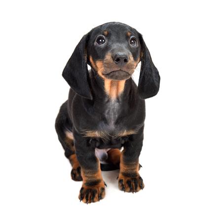Dachshund puppies on white background Standard-Bild - 124953311