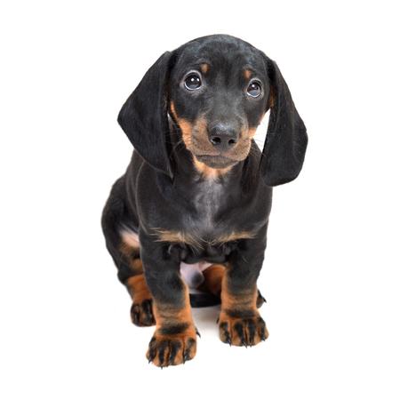 Dachshund puppies on white background