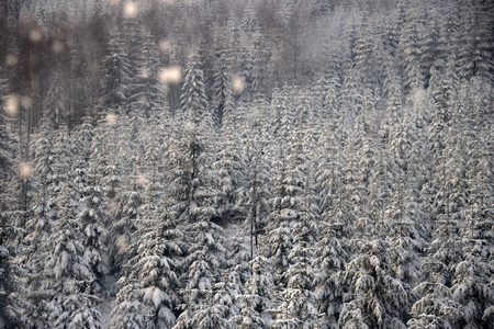 Mountain spruce forest in snowfall, northern slope of jizera mountains, poland Standard-Bild - 124953320