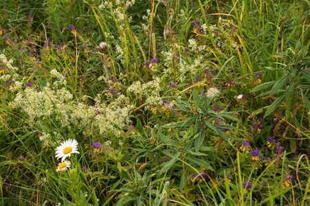 Summer grass in meadow: chamomile, narrow-leaved tea-tea (Chamerion angustifolium), oak grove (Melampyrum nemorosum