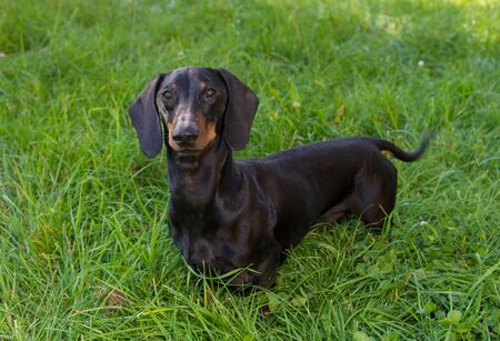 Black and tan dachshund is on grassy meadow in summer