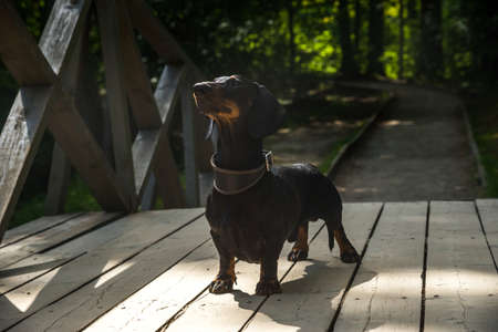 Black and tan dachshund on wooden bridge in summer Stock Photo