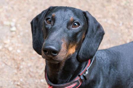 Portrait of black and tan dachshund
