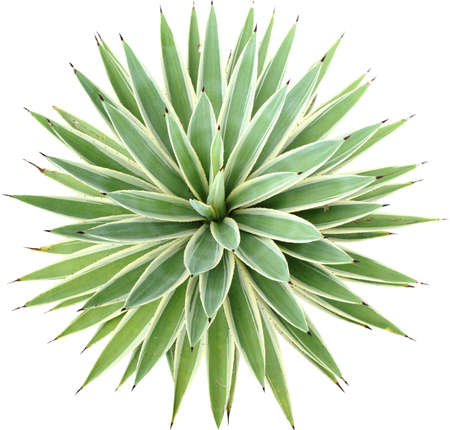 Green Agave angustifolia (Marginata) isolated on white background with clipping path.