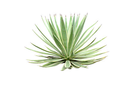 Beside of green Agave angustifolia (Marginata) isolated on white background with clipping path.