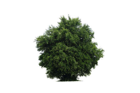 Big green tree of Manila tamarind (Pithecellobium dulce) isolated on a white background.