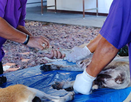 Close up of Injection in dog leg by veterinarian on the blue table. Sterilization dog.