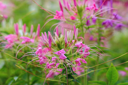 Colorful of Spider flower in the flowerbed at my garden.