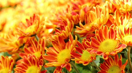 Colorful of Chrysanthemum in flowerbed at the garden.