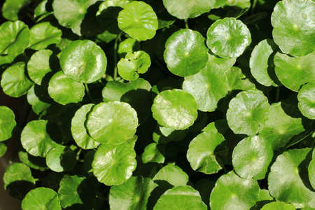 Green leaf of Asiatic Pennywort in the garden.