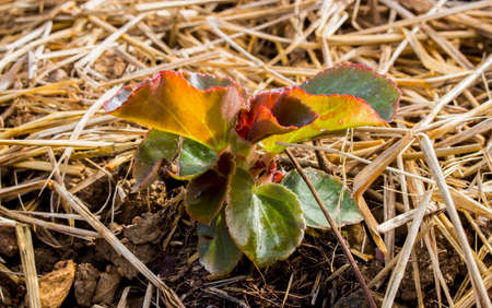 Close up of begonia plant seedling in soil with dry straw at flower bed in the garden. Stock Photo