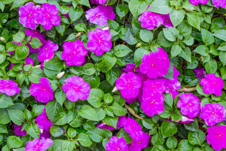 Close up of background and texture for purple Impatiens (Impatiens walleriana) flowers and green leaves in the garden.
