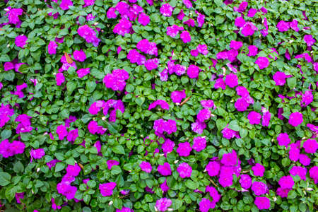 Background and texture of purple Impatiens (Impatiens walleriana) flowers and green leaves in the garden. Stock Photo