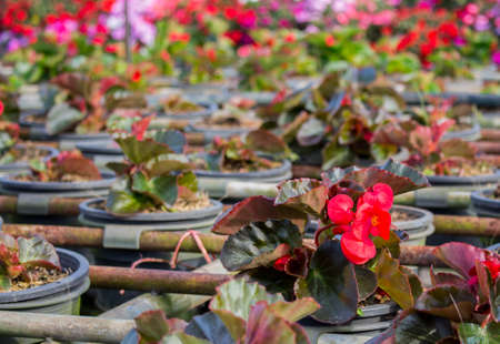 Red begonia flower in sunny day with copy space and blur background. Begonia flower in plastic pot at the nursery.