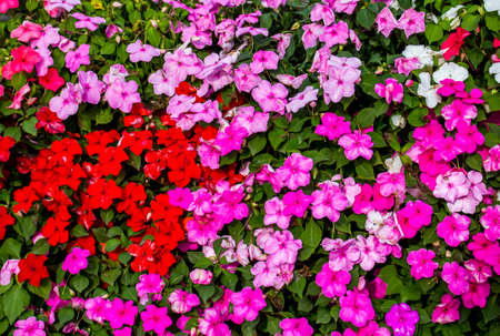 Background and texture of colorful Impatiens (Impatiens walleriana) flowers in the garden.