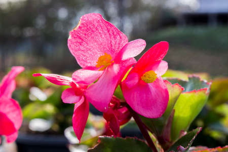 Close up of pink begonia flower in sunny day with blur background. Begonia flower and yellow pollen in plastic pot at the nursery. Stock Photo