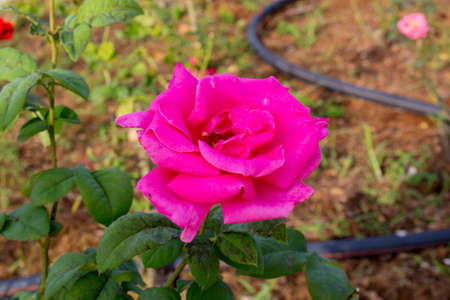 Close up of pink rose flower in flower bed at the backyard with blur background.