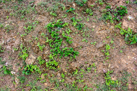Background and texture of green grass or weed on soil surface in the garden. Stock Photo