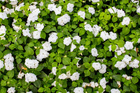 Background and texture of white Impatiens (Impatiens walleriana) flowers and green leaves in the garden.