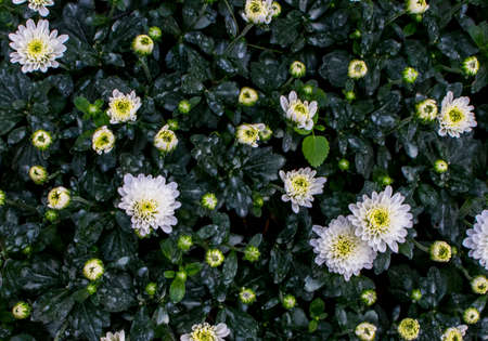 Top view of white flowers and yellow budding flowers and green leaf in flower bed at the garden.