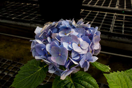 Close up of purple hydrangea flower and green leaf in the nursery. Hydrangea flower in plastic pot.