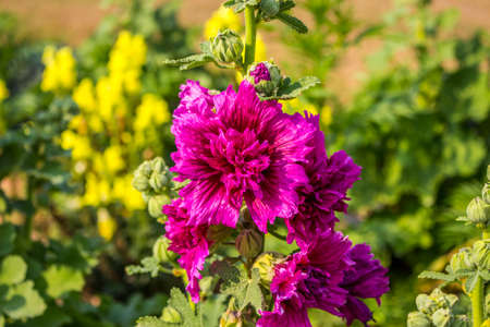 Close up of blooming hollyhock flower and budding flower with blur background.
