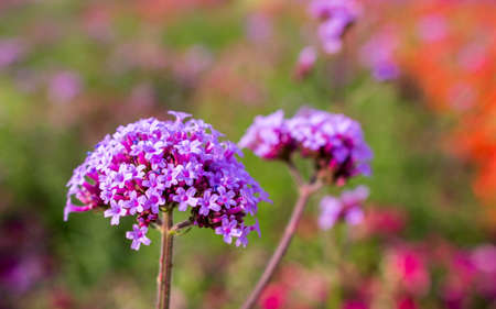 Close up of purple verbena flower in sunny day at the garden with copy space and colorful blur background. Stock Photo