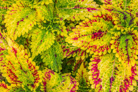 Abstract background of colorful Flame Nettle or Painted Nettle flower in the garden.