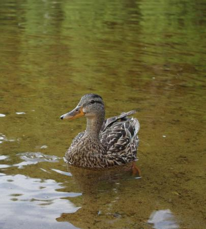 quack: Duck swimming in a pond.