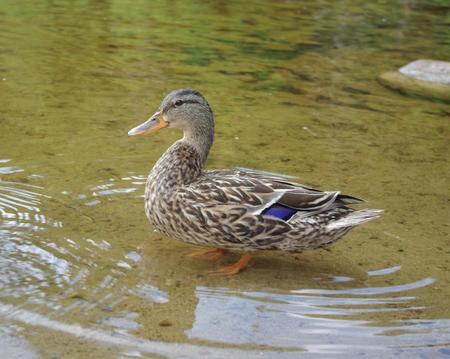 Male duck standing in shallow water.