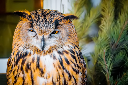 Owl, a sleeping eye in the afternoon.