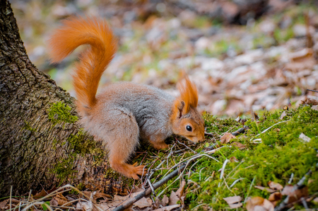 Red squirrel in the forest eating nuts and acorns.