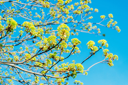 Blossoming buds of a tree maple, flowering maple in the spring on a clear sky
