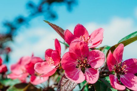 Red scarlet flowers of apple trees against the blue sky