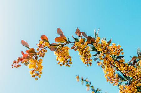 blossoming yellow flower tree: Branches of barberry bush close up against a blue sky background