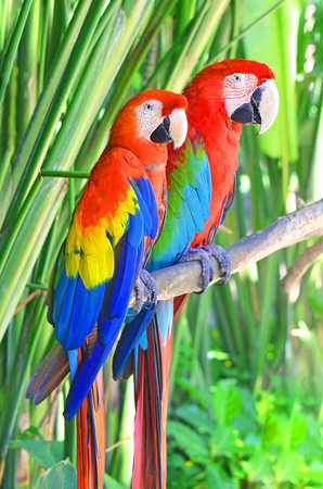 Two bright parrots Ara sitting on a tree branch in the jungle