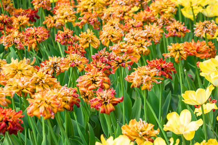 Dried flowers tulips in a flowerbed in the park