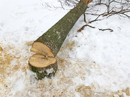 Tree stump sawed. Fallen tree trunks in bad weather and strong wind Stock Photo
