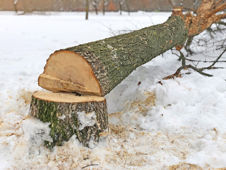 Tree stump sawed. Fallen tree trunks in bad weather and strong wind 免版税图像