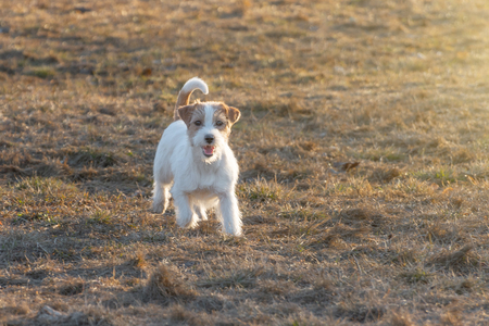 Purebred Jack Russel Terrier dog outdoors in the nature on grass park spring day