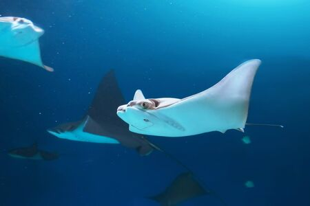 Flock of stingrays are swimming on the blue sea