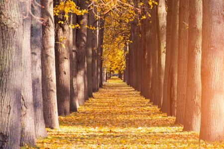Golden leaves on branch, autumn wood tree tunnel, beautiful landscape