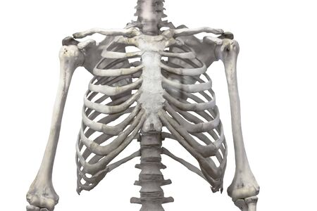 Thoracic spine, chest and ribs of bone with arms and shoulders isolated on a white background