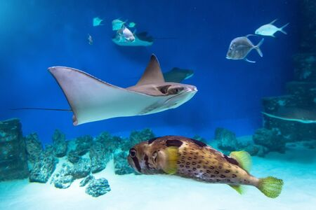 Stingrays and fish hedgehog are swimming on the blue sea near the underwater rocks and white sand