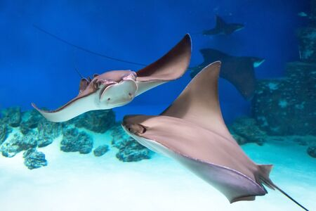 Two stingrays are swimming on the blue sea near the underwater rocks and white sand
