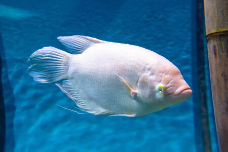 White fish with scales in an aquarium on a sea background