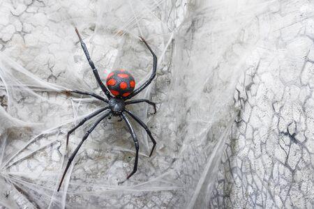 Spider female black widow on the web