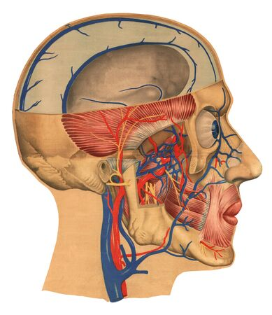 Human head slice profile side view-deep facial formations. The structure of the circulatory system, muscles and nervous system, cranial bones. The concept of studying the structure of man