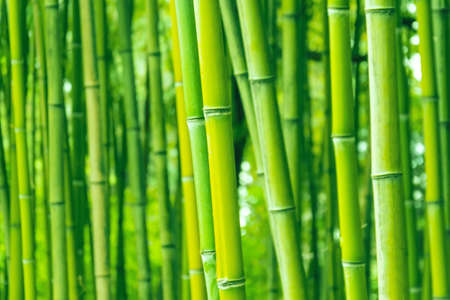 Bamboo forest and thickets, trunks close up green eco texture Stock fotó