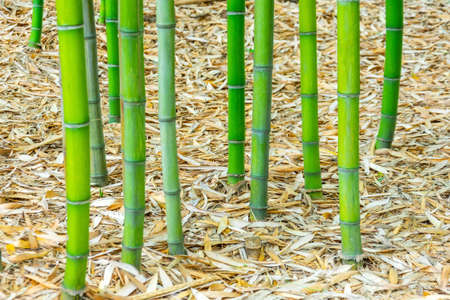 The bases of bamboo trunks with roots growing from the ground covered with dry leaves